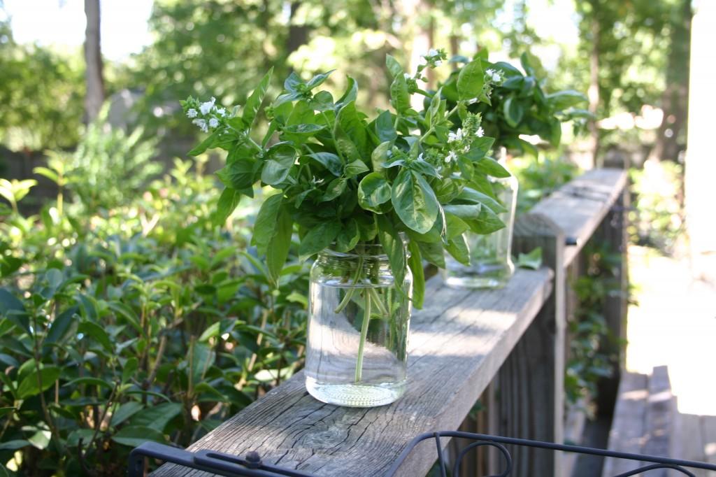 basil in jars