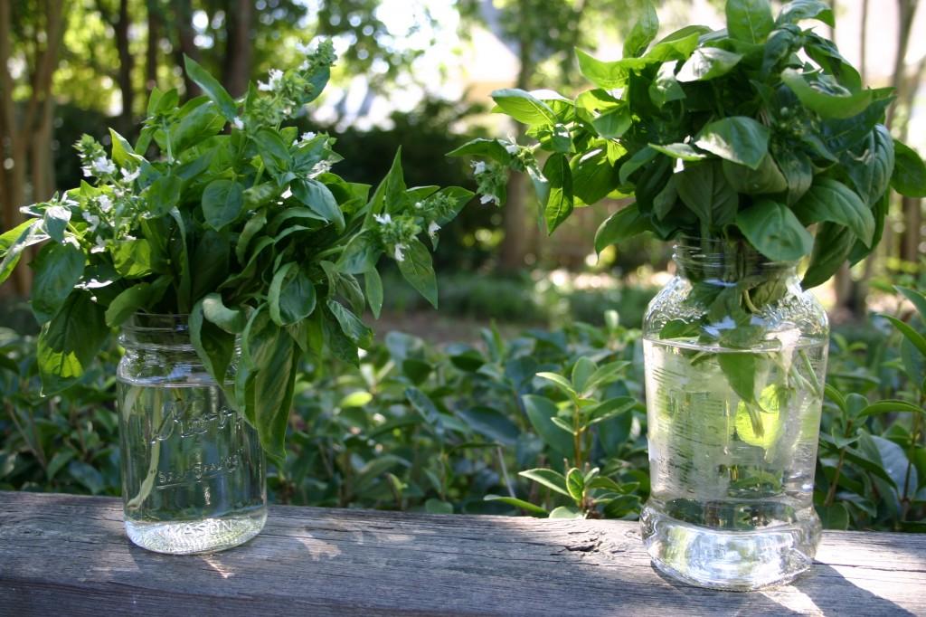 basil in mason jars